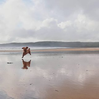 Happy Friday everyone! The beach is our Amber's happy place. Where is yours? #stackpolecamp #dogsofinstagram #clumberdoodle #dogsonbeach #beachdogwalks #dogswhocamp